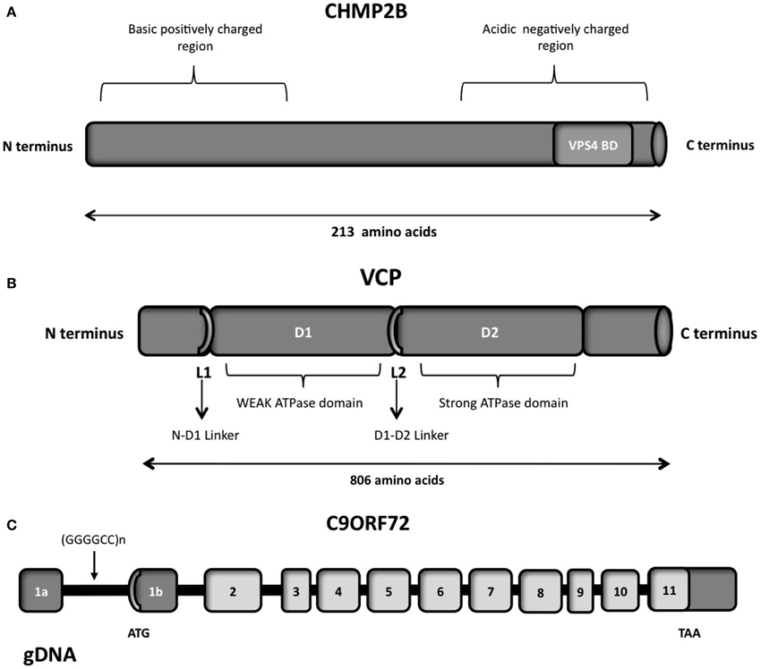 Frontiers   A network of RNA and protein interactions in Fronto ...