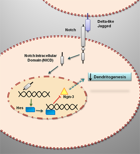 notch signaling where pancreatic cancer and differentiation meet