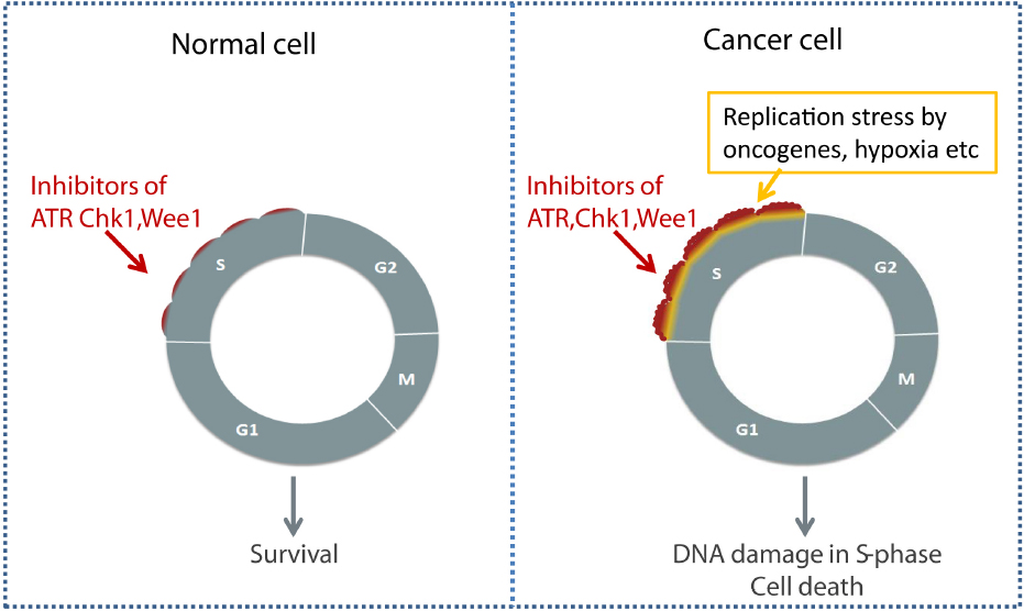 Frontiers Targeting Lung Cancer Through Inhibition Of
