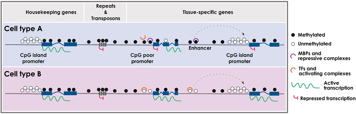 Frontiers Dna Methylation Dynamics In Muscle Development And Disease Frontiers In Aging