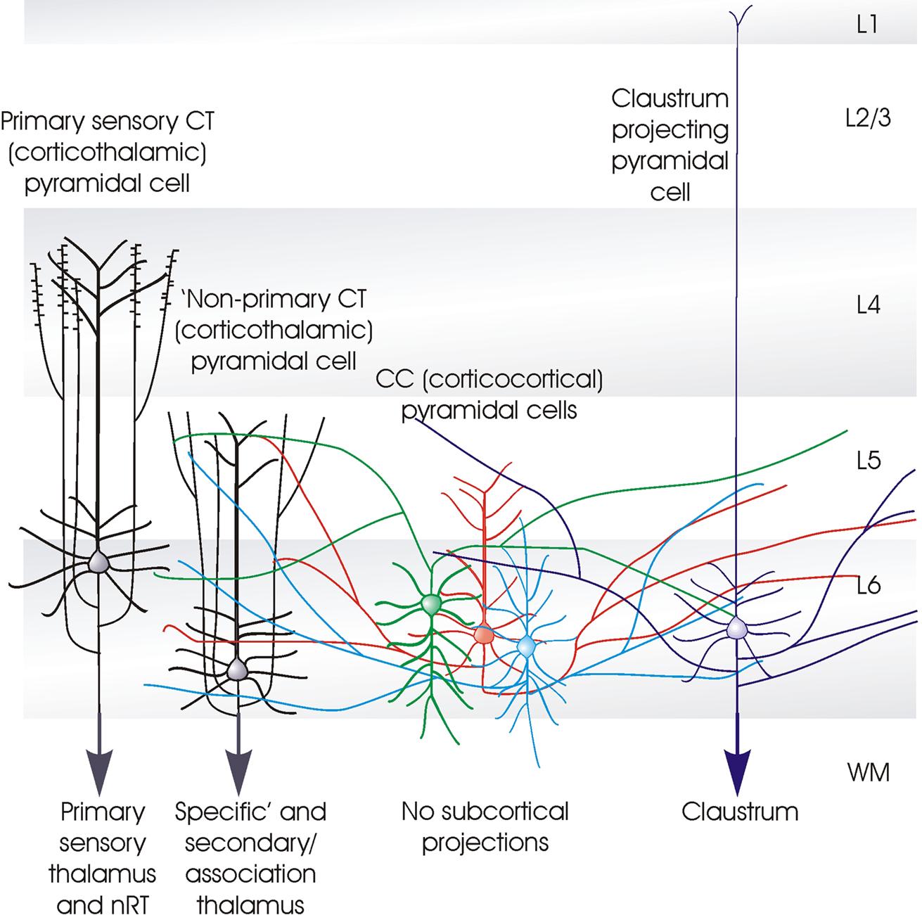 Neocortex: Neocortical Layer 6, A Review