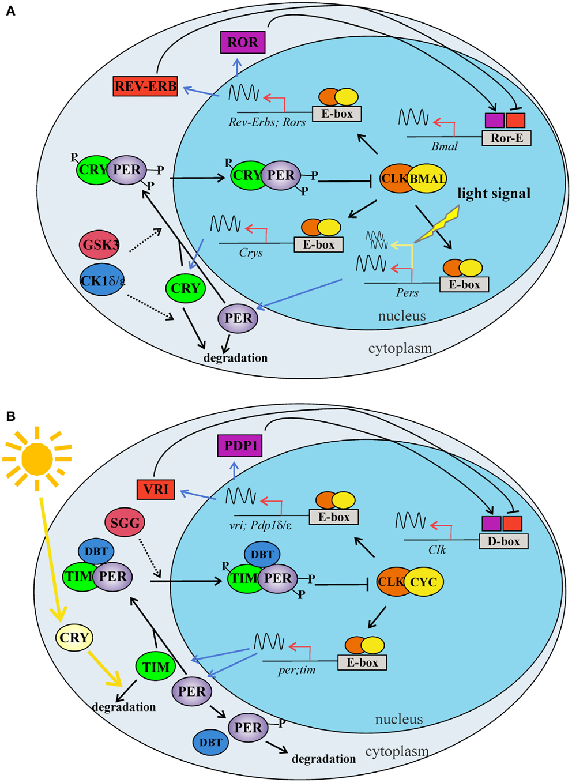 100 The Drosophila F Box Protein Molecular Evolution Of