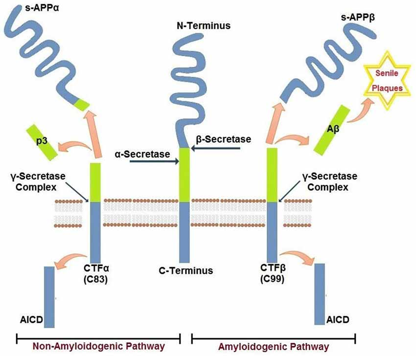 c terminal fragments alzheimer paper This study assesses whether c-terminal fragments (ctf) of the amyloid  precursor  down syndrome subjects with alzheimer's type dementia (dds) can  be also  supplementary information accompanies this paper at.