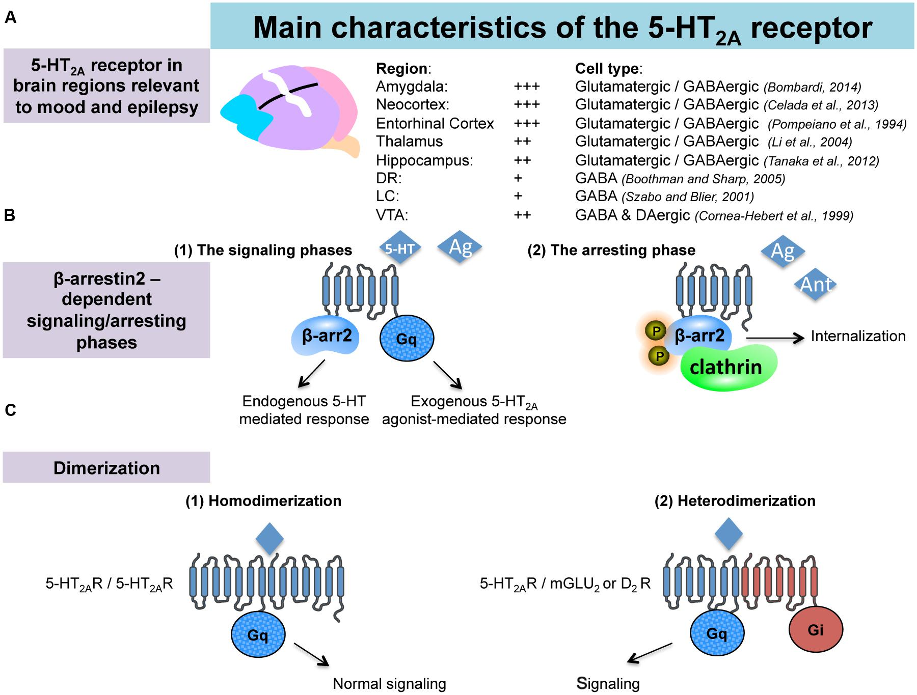 Frontiers   Central serotonin-2A (5-HT2A) receptor