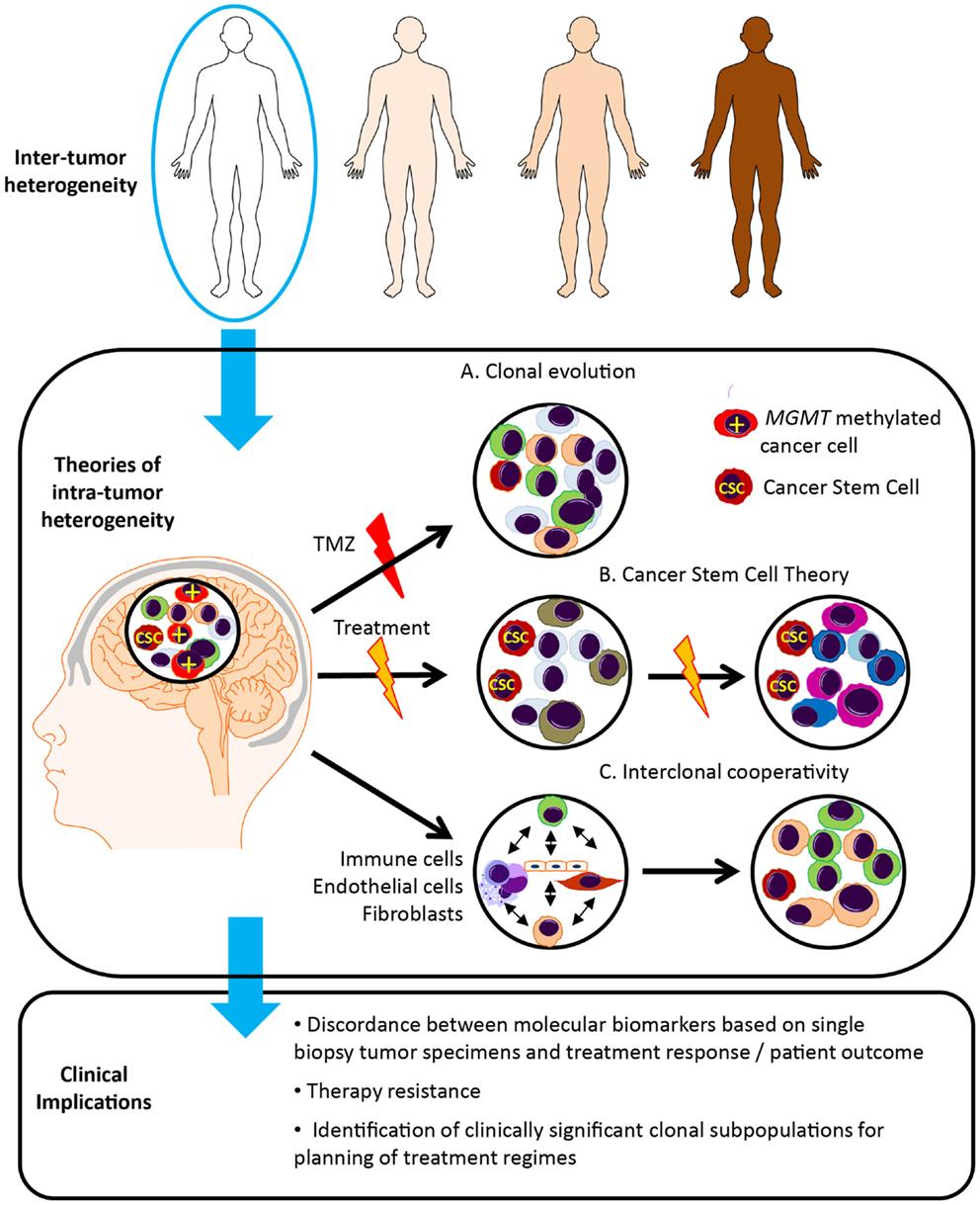 Frontiers | Molecular Heterogeneity in Glioblastoma