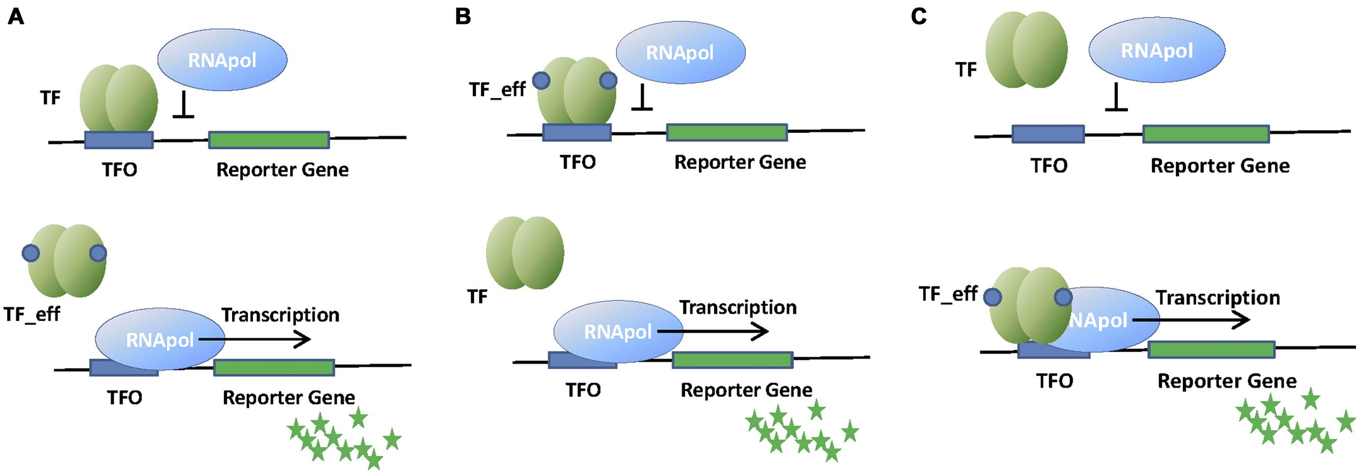 Frontiers Transcription Factor Based Biosensors Enlightened By The Basis Of Different Regulator Types Principles Genetic Circuit
