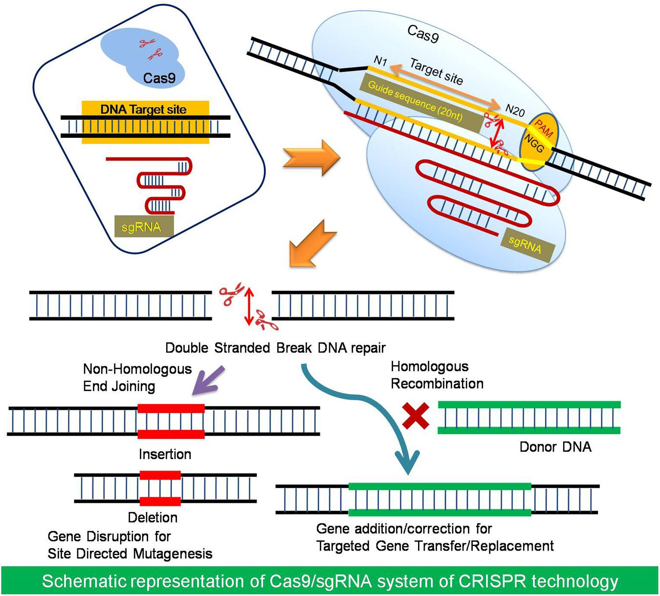 crisprcas genome editing transfection methods download lengkap. Black Bedroom Furniture Sets. Home Design Ideas