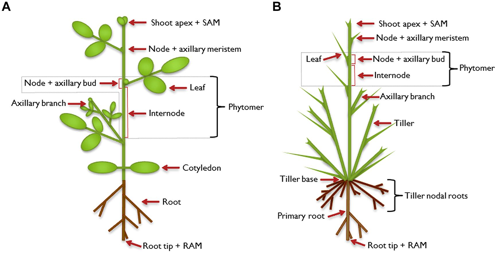 Define plant anatomy