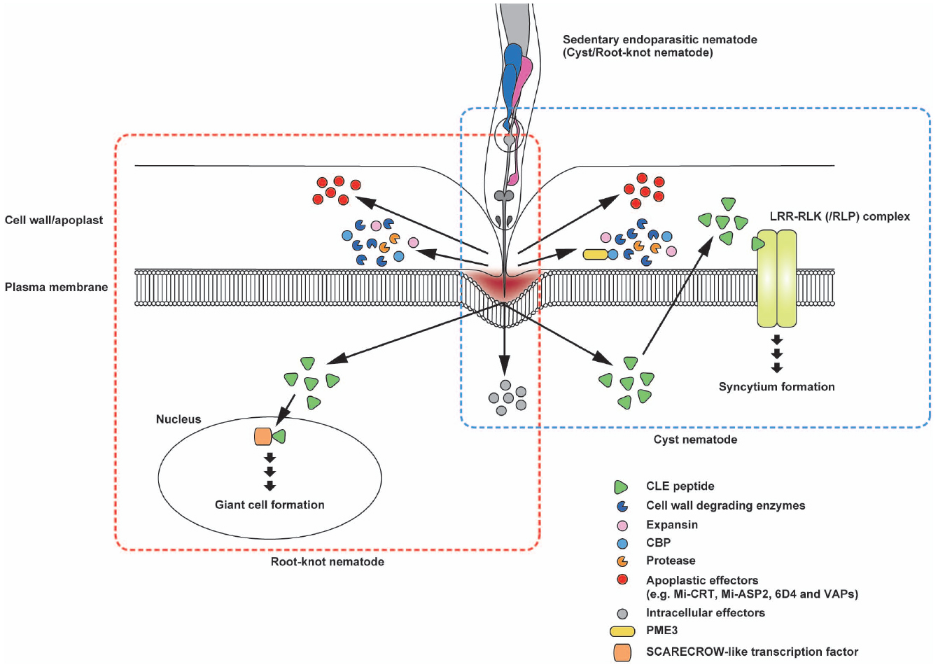 Frontiers | Apoplastic interactions between plants and plant root ...
