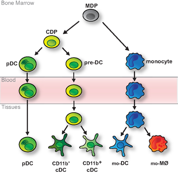 Frontiers | Fate Mapping of Dendritic Cells | Immunology on dna mapping, thomas morgan's linkage mapping, community mapping, cognitive mapping, mental mapping,