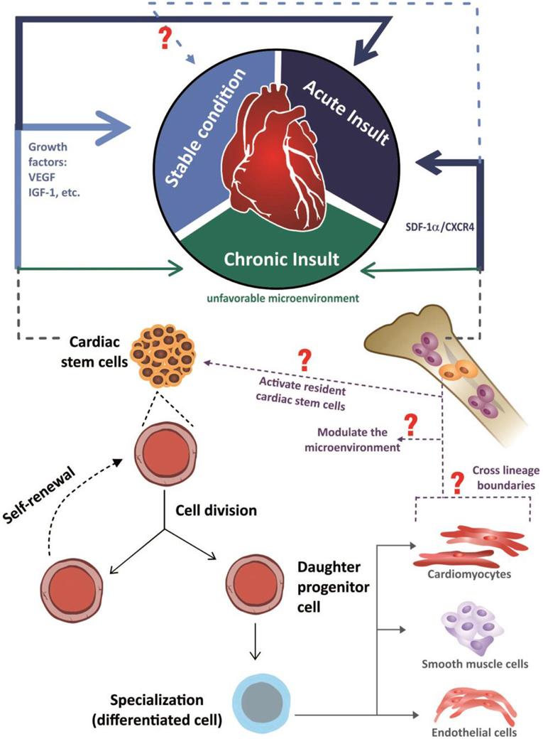 Frontiers | Multipotent stem cells of the heart—do they have