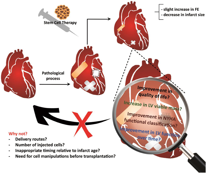 Frontiers Multipotent Stem Cells Of The Heartdo They Have