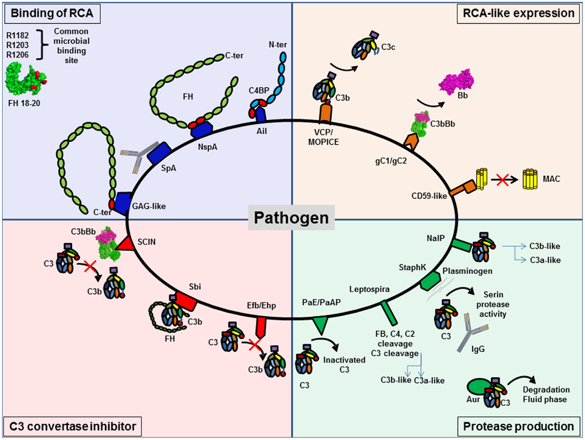 The Complement System Concept Map.Frontiers Complement System Part Ii Role In Immunity Immunology