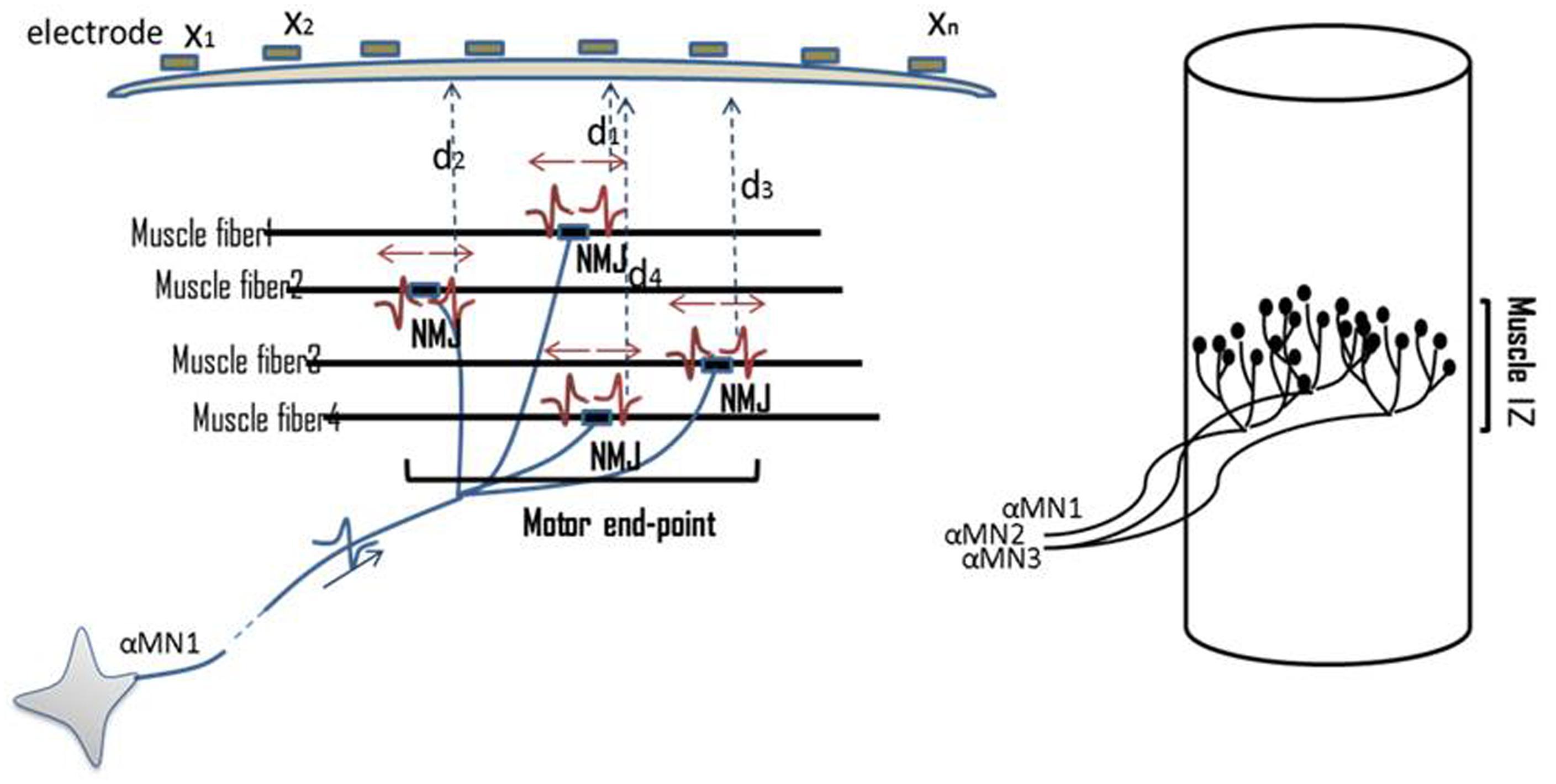 Frontiers Innervation Zones Of Fasciculating Motor Units Figure 1 Block Diagram The Emg Sensor