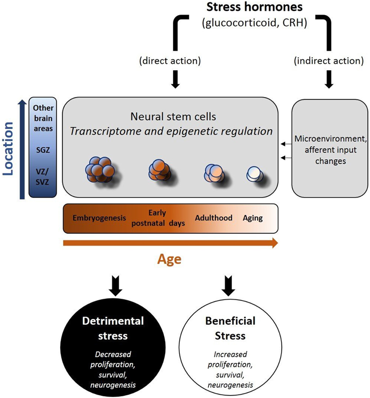 Neural Stem and Progenitor Cells in Nervous System Function and Therapy