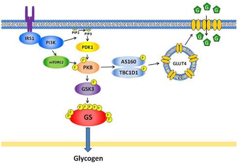 Frontiers | The Role of Skeletal Muscle Glycogen Breakdown ...