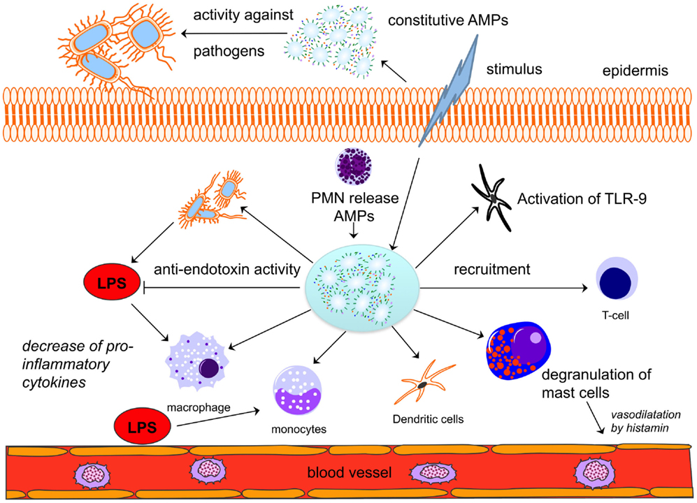 cationic antimicrobial peptides in humans The peptide composed of the 27 c-terminal amino acids of hcap18 (hcap18(109-135)) binds lipopolysaccharide (lps) the purpose of the present results hcap18 peptide at 10 and 100 micro g significantly suppressed an lps-induced increase in the number of inflammatory cells and the.