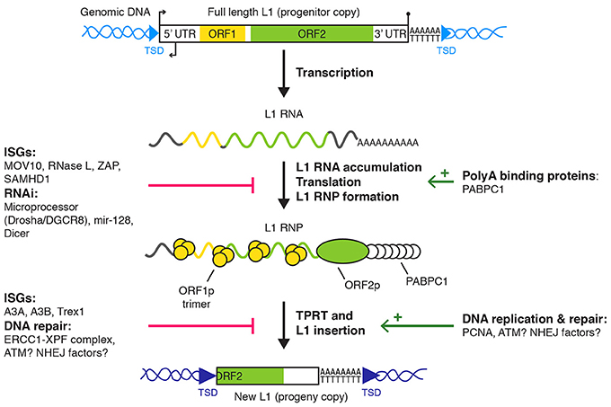 Frontiers Post Transcriptional Control Of Line 1
