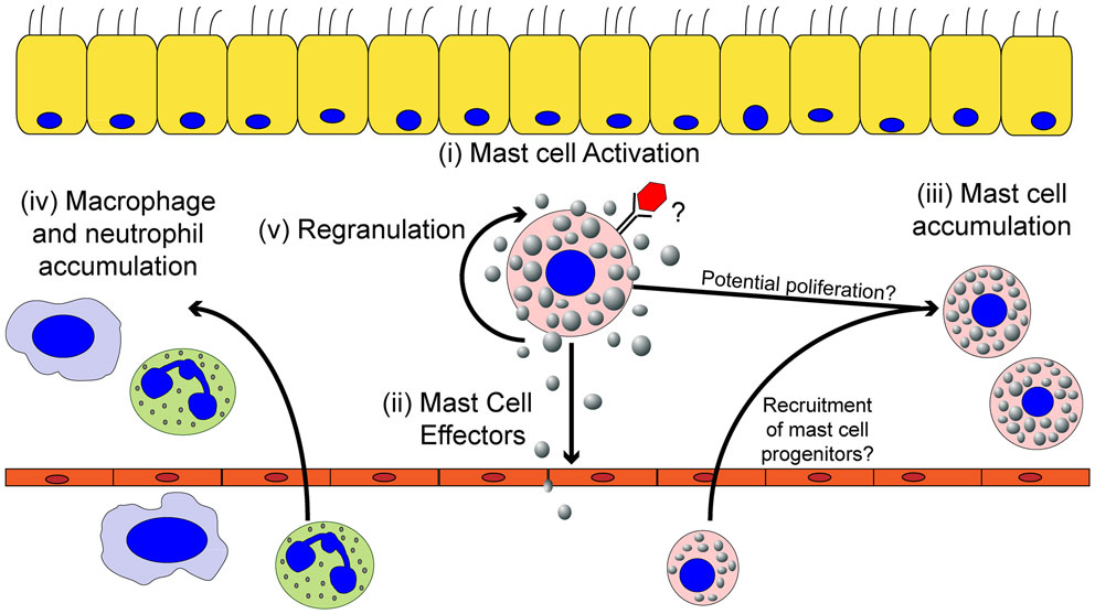 Frontiers   Mast Cells and Influenza A Virus: Association with