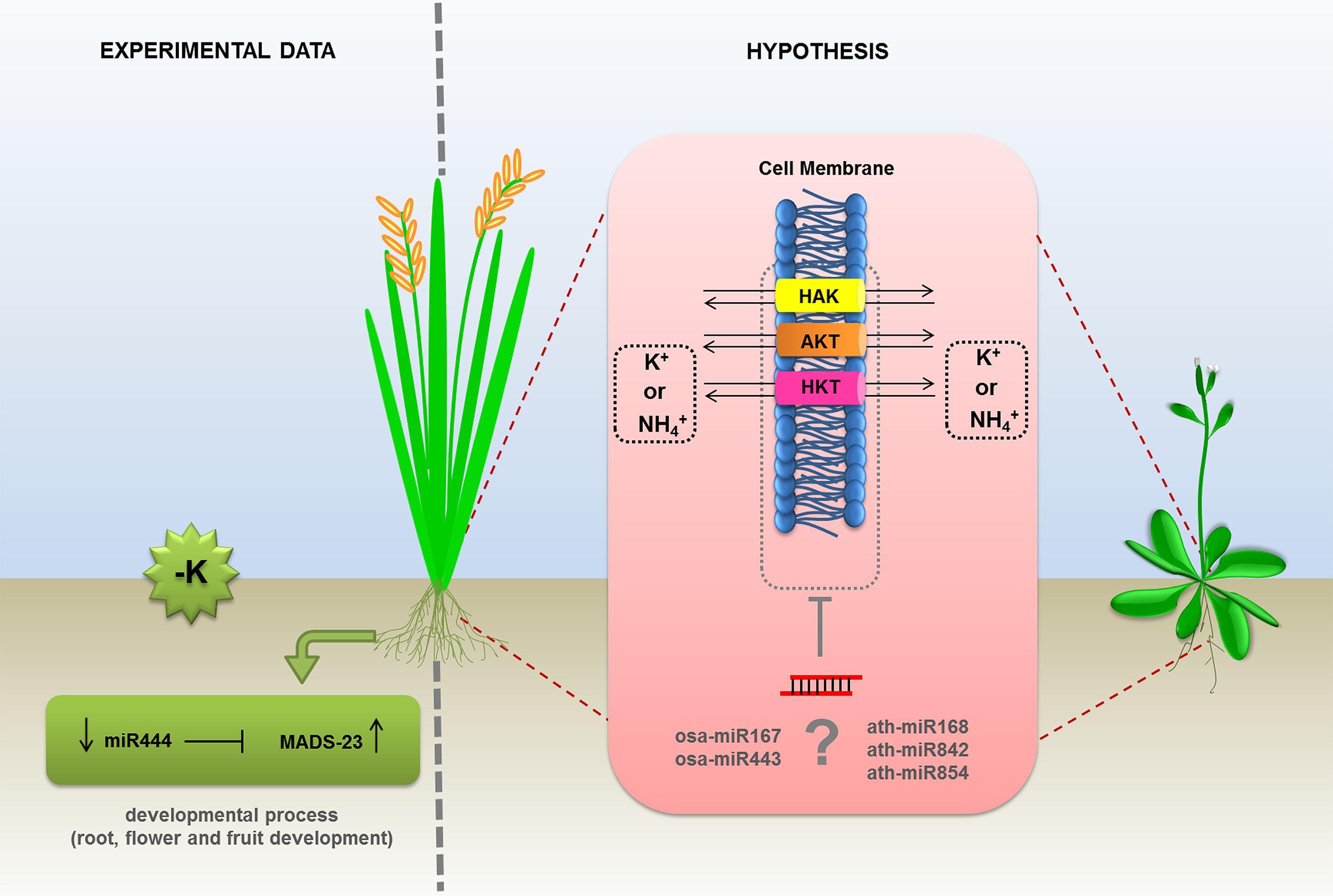 Frontiers Npk Macronutrients And Microrna Homeostasis Plant Science