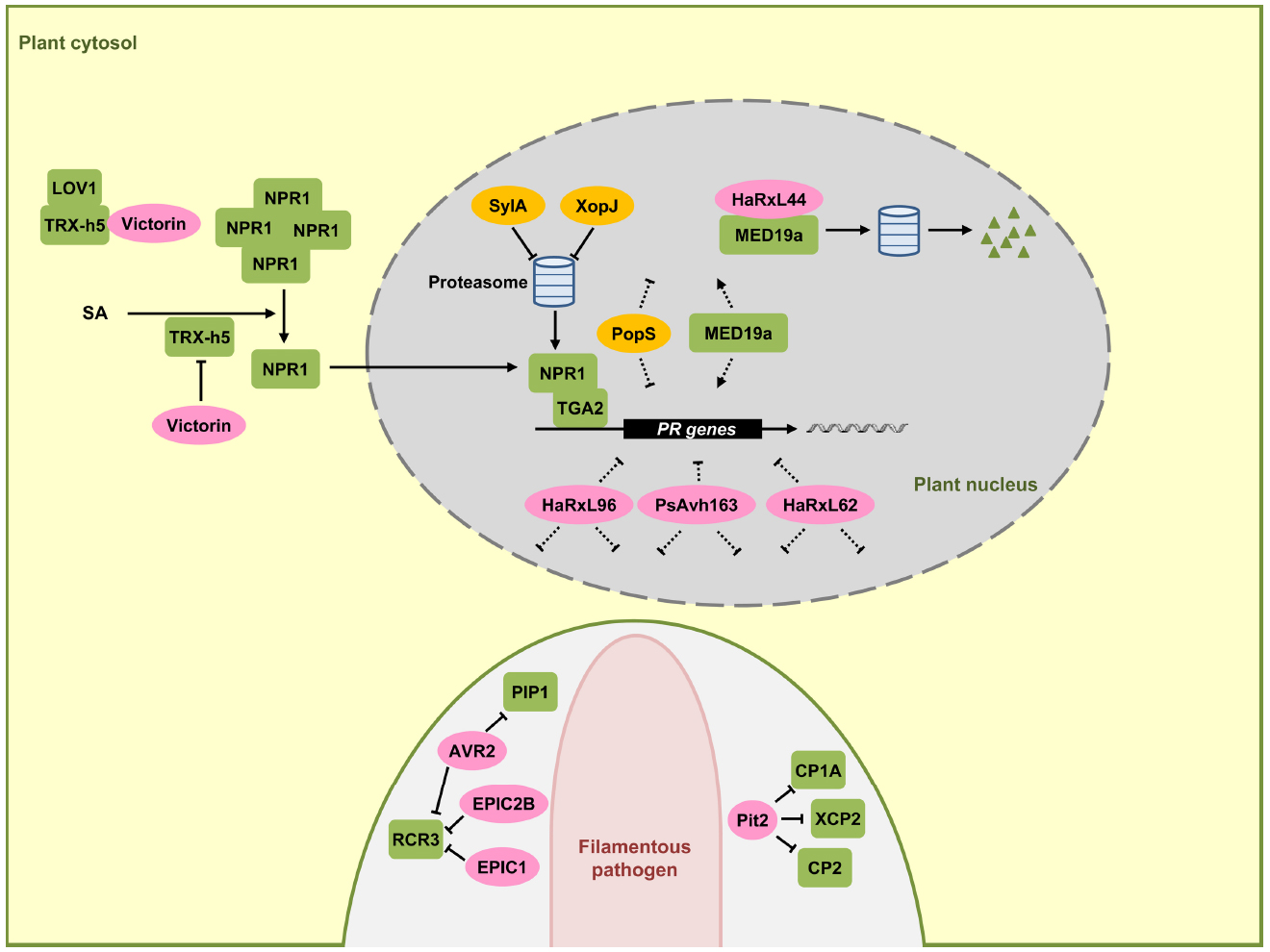 regulation of expression of steroidogenic enzymes in leydig cells