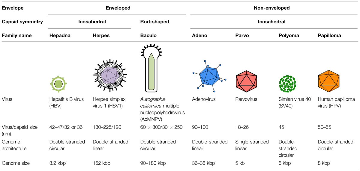 Frontiers Nuclear Entry Of Dna Viruses Microbiology
