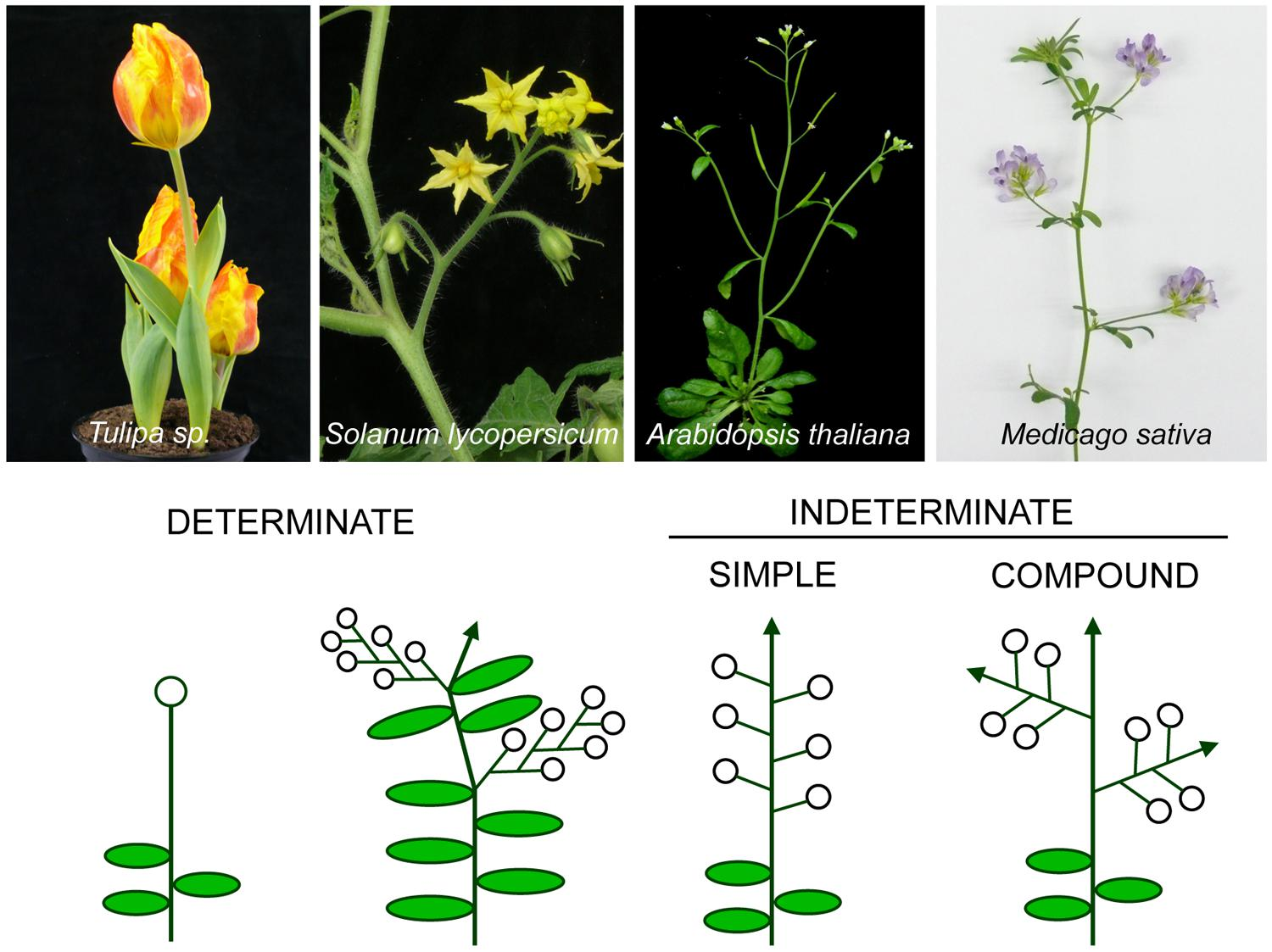 Frontiers Genetic Control Of Inflorescence Architecture In Legumes