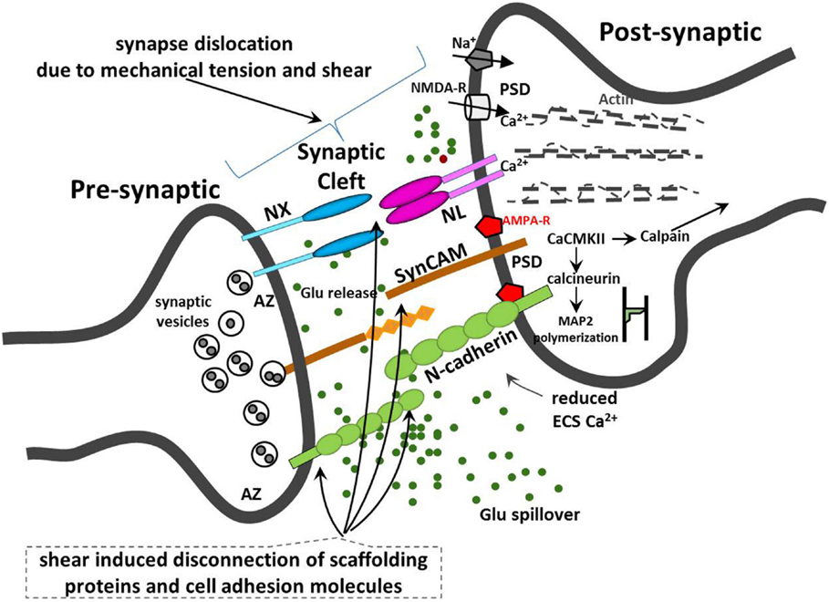 Frontiers Synaptic Mechanisms Of Blast Induced Brain