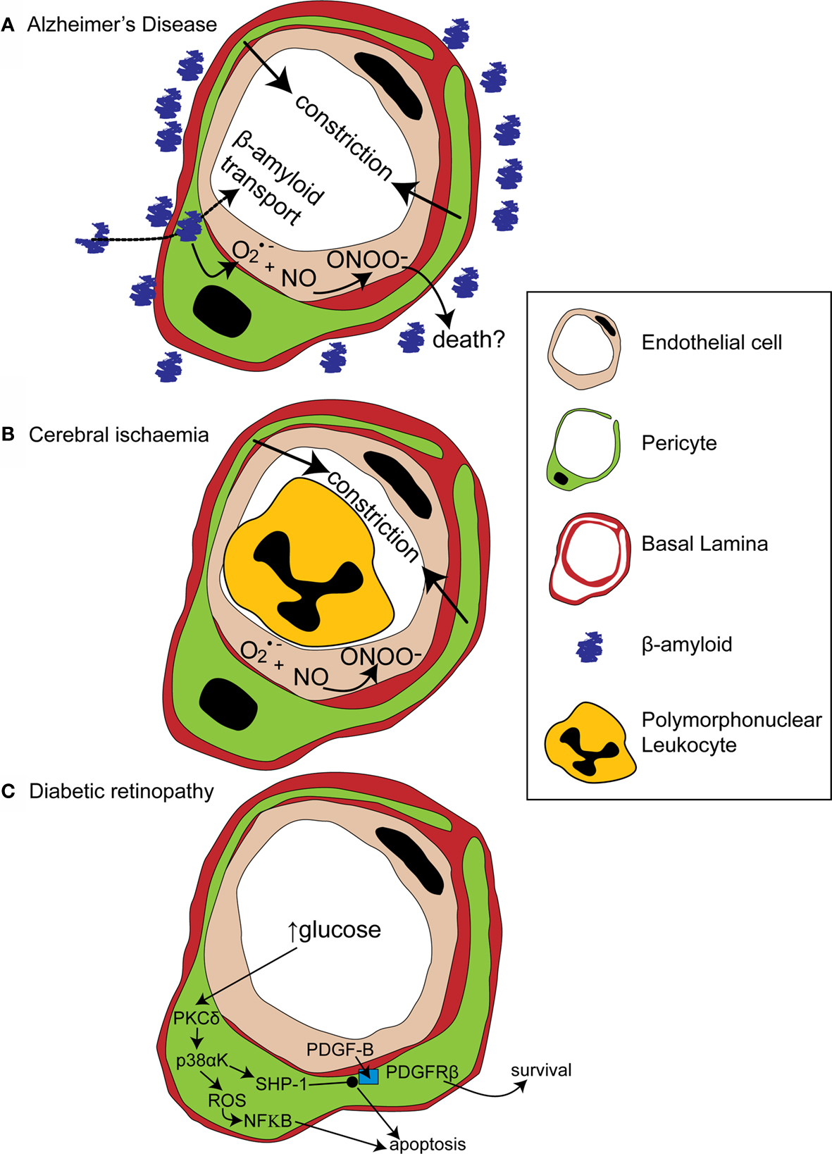 Frontiers Pericyte Mediated Regulation Of Capillary Diameter A