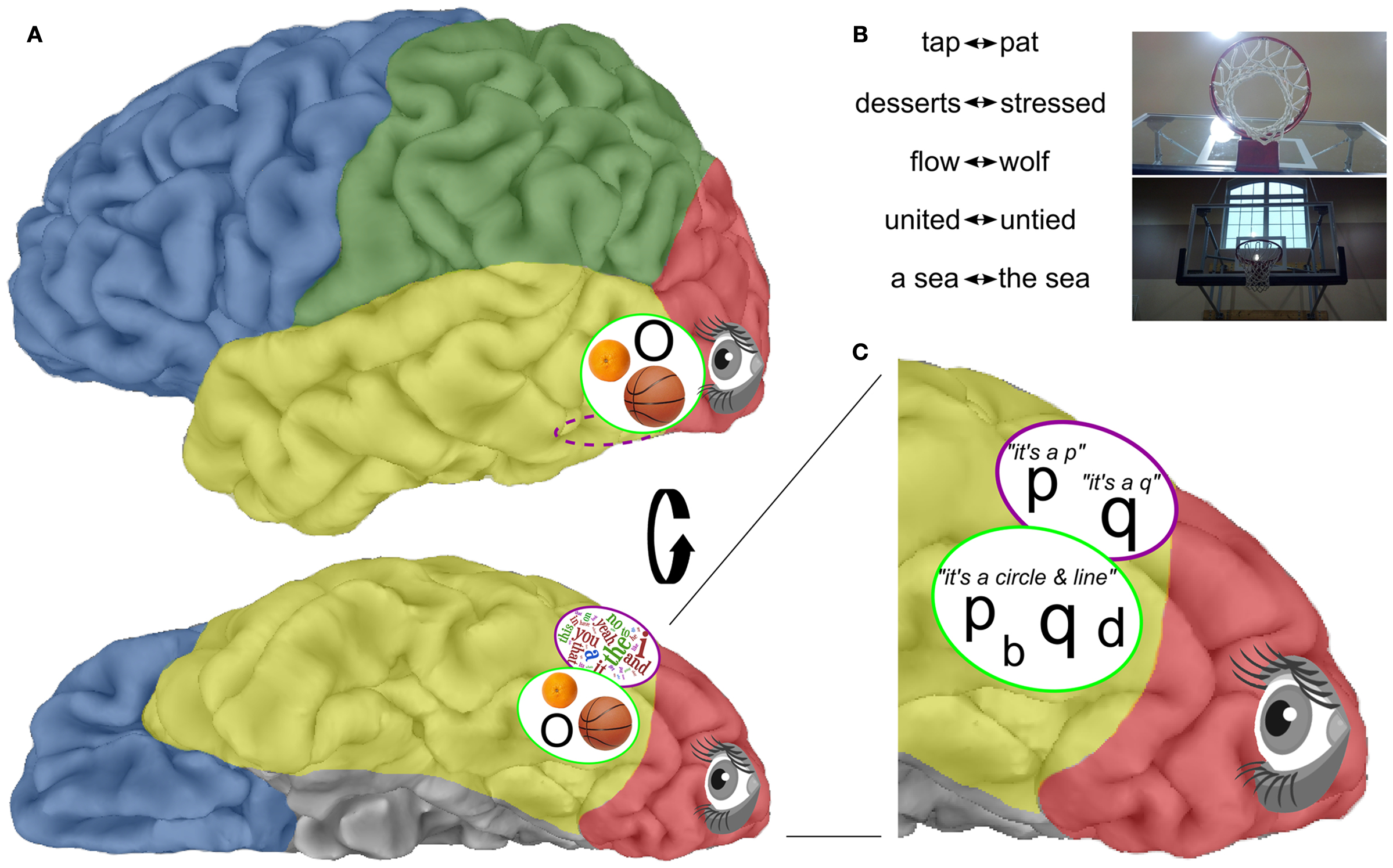 "Figure 4 - A. The object cortex (green oval), which is located close by the wordbox (purple oval), helps us recognize objects. For example, it can tell apart different objects that have a similar shape, like an orange, a basketball, or the letter ""O."""