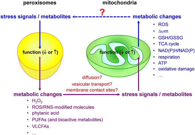 mitochondria essay
