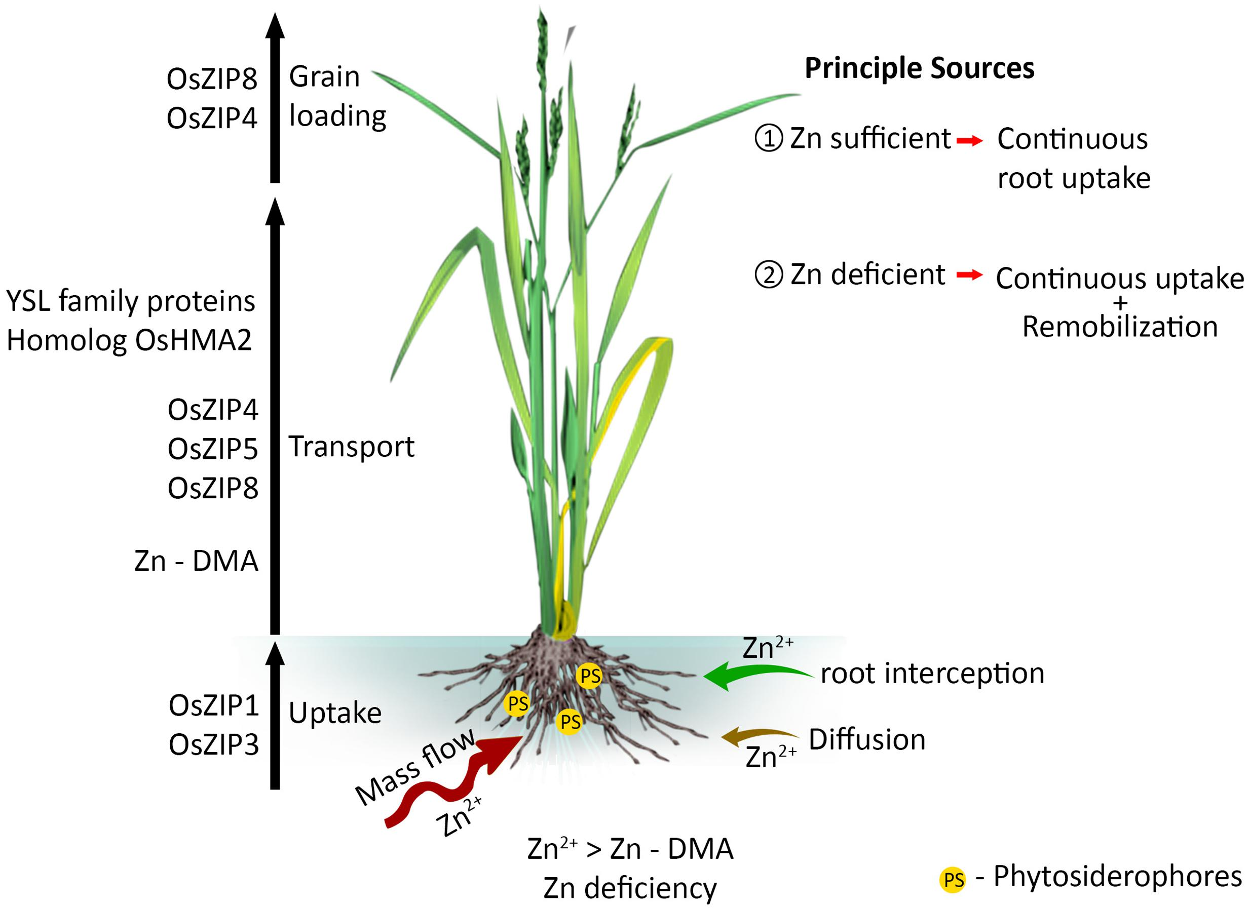 Frontiers improving rice zinc biofortification success for Different parts of soil