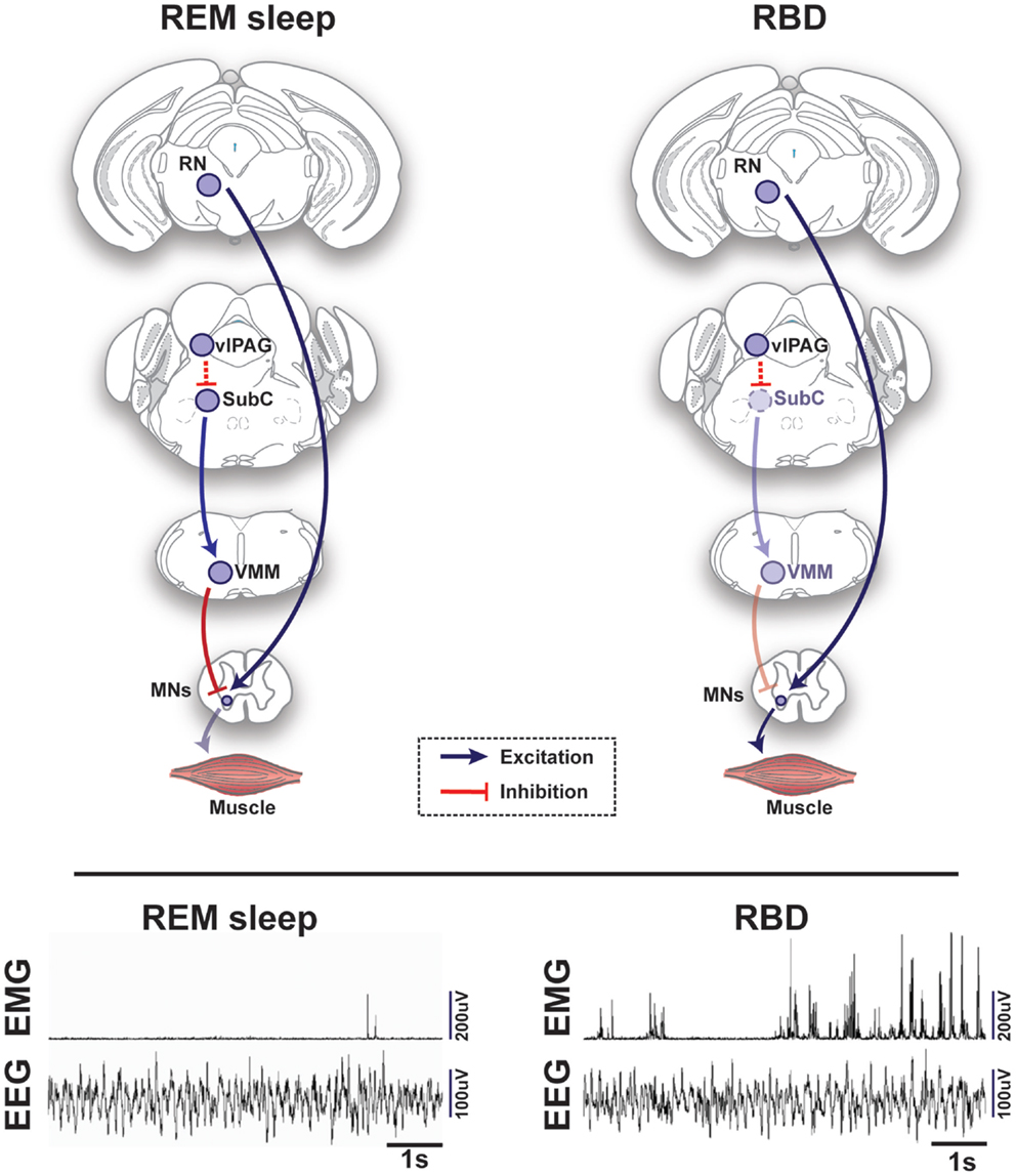 Frontiers | REM Sleep at its Core – Circuits