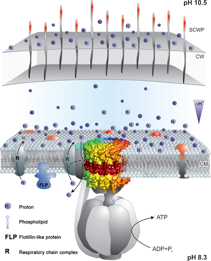 Frontiers | Alkaliphilic Bacteria with Impact on Industrial