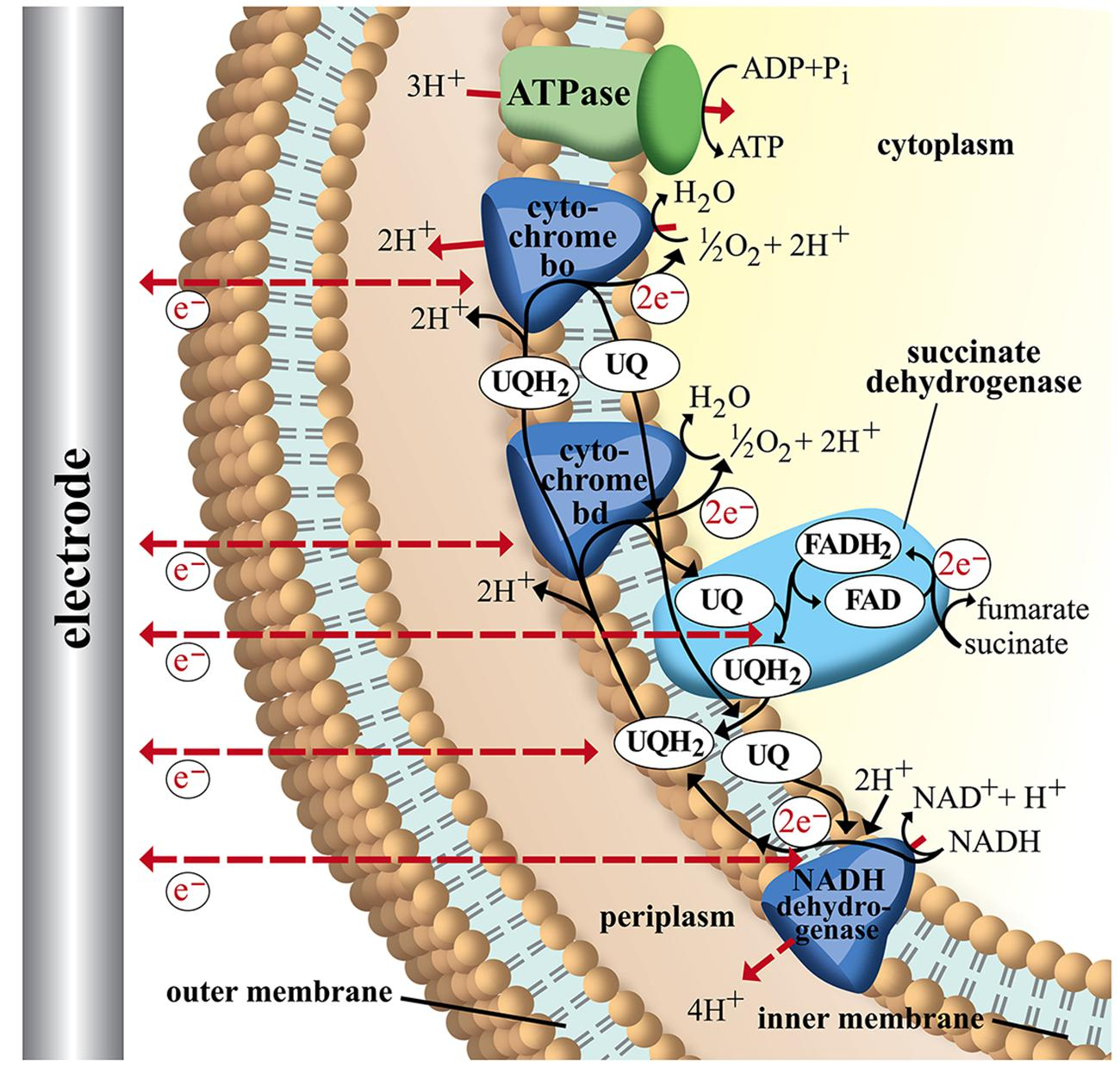 Frontiers   Microbial electron transport and energy