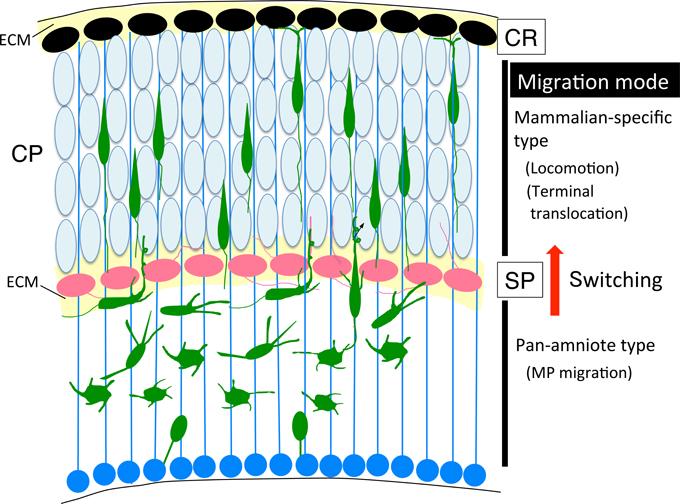 Frontiers | Molecular Pathways Underlying Projection Neuron