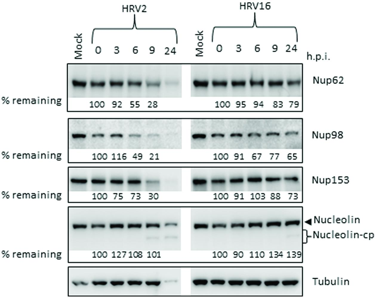 Frontiers Variation In The Nuclear Effects Of Infection By Different Human Rhinovirus Serotypes Microbiology