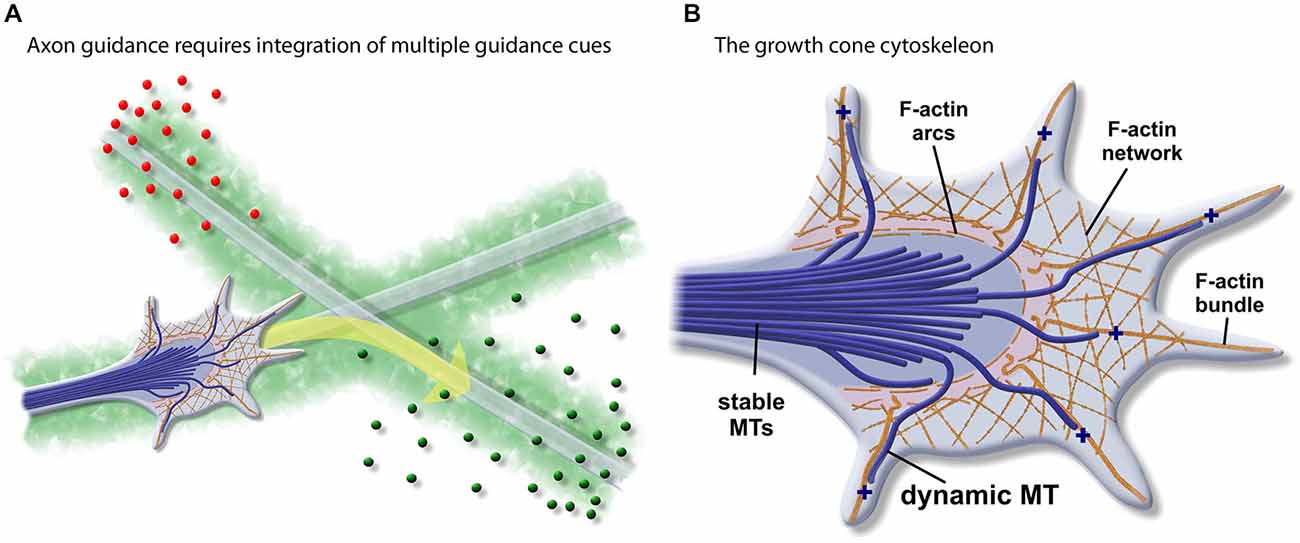 Frontiers Tipsy Tour Guides How Microtubule Plus End