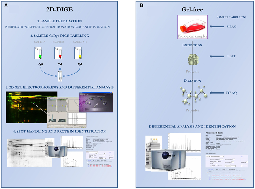 application of 2d gel electrophoresis in proteomics