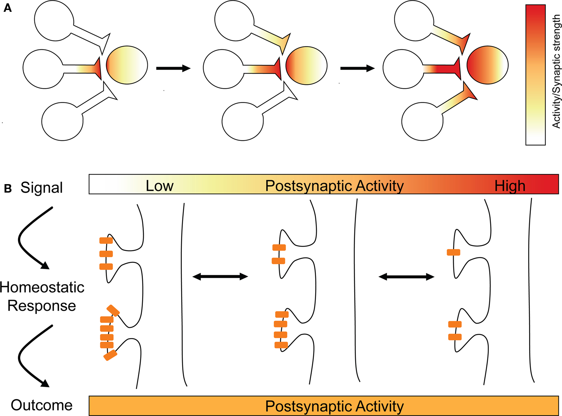 Homesotatic plasticity