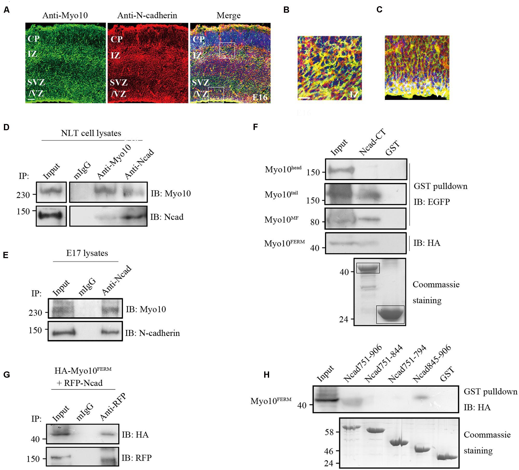 Frontiers   Myosin X regulates neuronal radial migration ...