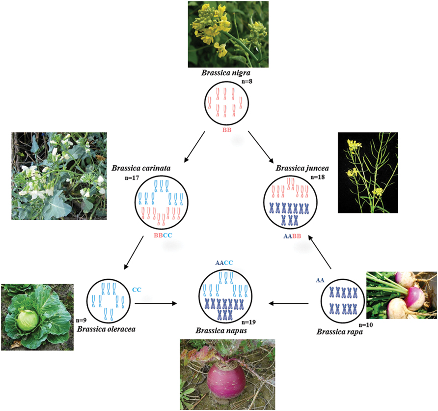 Frontiers Molecular Breeding In Brassica For Salt Tolerance