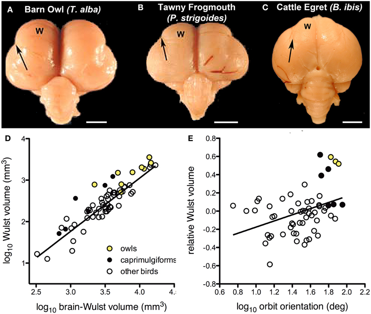 Frontiers Integrating Brain Behavior And Phylogeny To Understand