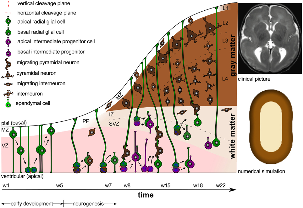 Could Brain Growth Chart Spot Attention >> Frontiers Physical Biology Of Human Brain Development Cellular