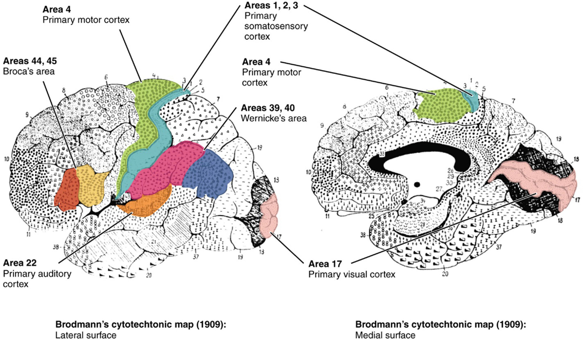 Figure 1 - Brodmann areas of the cerebral cortex, with some key areas shaded in.