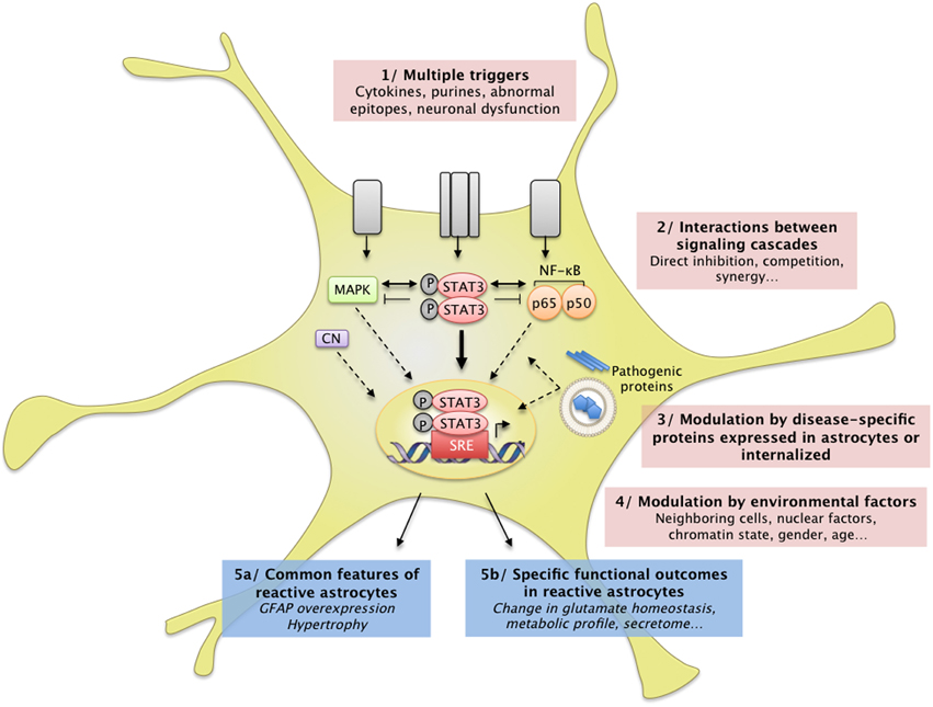 astrocyte activation triggers