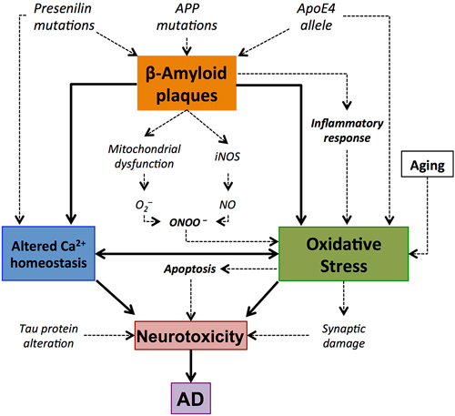 relationship between amyloid i and oxidative stress The effect of the slf on intracellular aβ accumulation and oxidative stress was measured in mc65 cells, a human neuronal cell line with inducible expression of the amyloid precursor protein and in the n2a neuronal cell line treated with exogenous aβ.