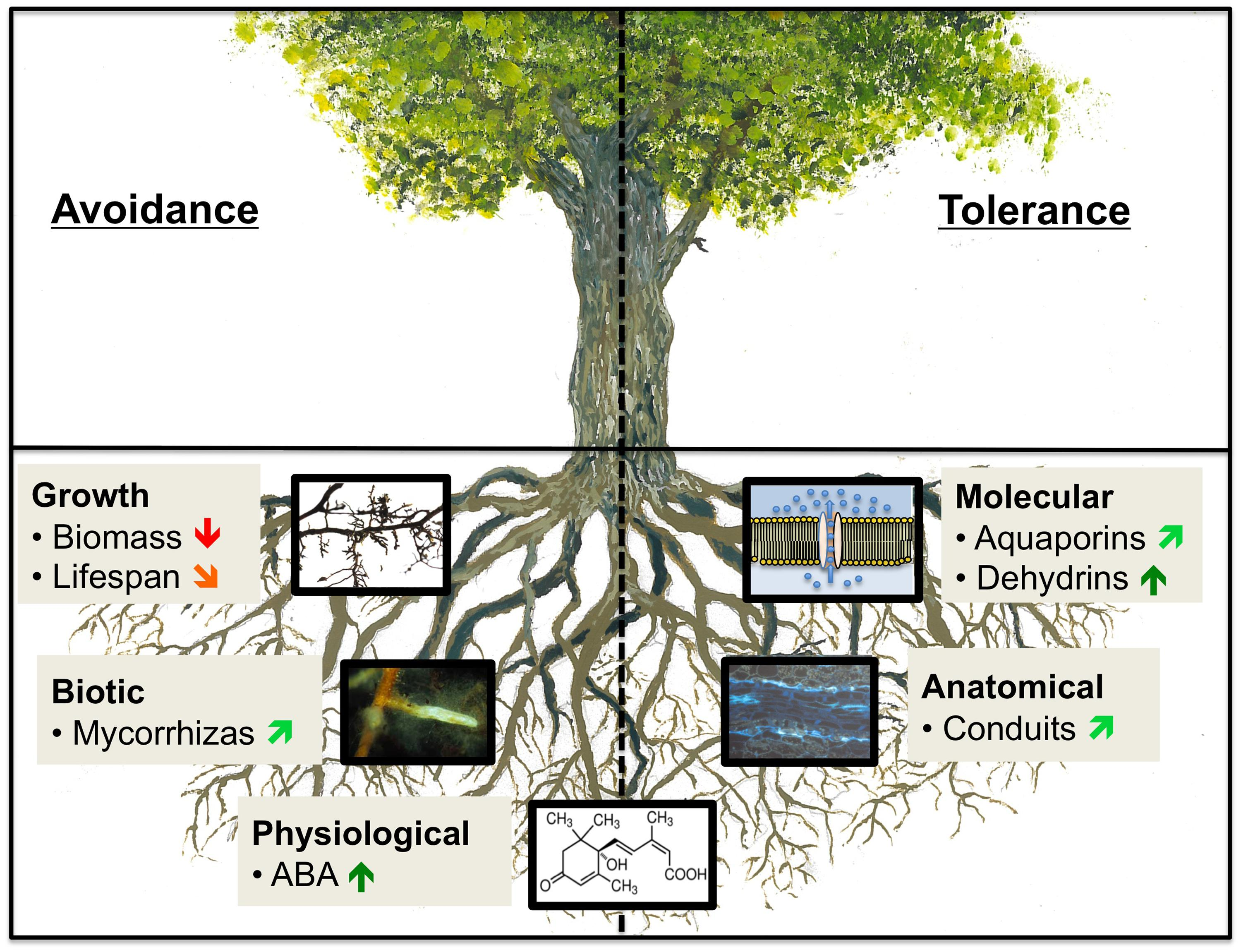 Frontiers How Tree Roots Respond To Drought Plant Science