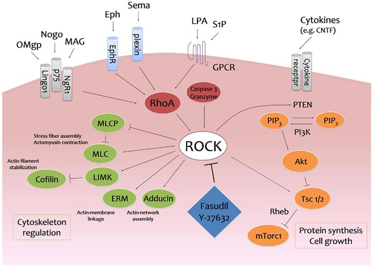 Frontiers | ROCKing Regeneration: Rho Kinase Inhibition as ...