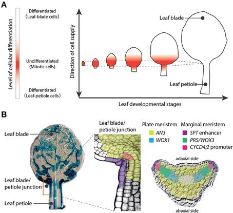 plant anatomy by katherine esau pdf